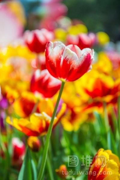 在公园里的郁金香是很漂亮