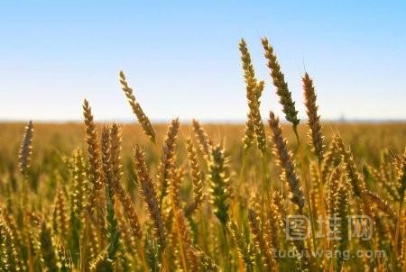 有成熟的麦子生长的地方