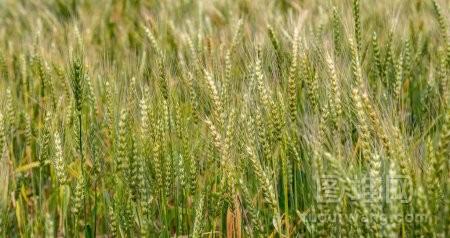 成熟的麦子在领域作为背景