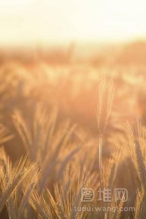 麦子的耳朵在阳光下阳光照耀着成熟的麦子