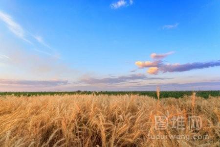 收割前成熟的麦子